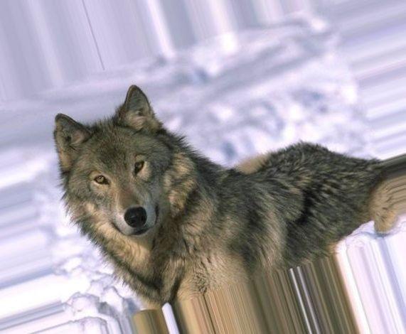 волков вконтакте фото