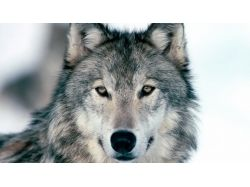 Картинки волков на аву 5