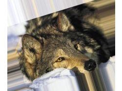 Картинки волков на аву 7