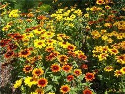 Каталог многолетних цветов с фото 4