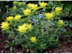 Каталог многолетних цветов с фото 6