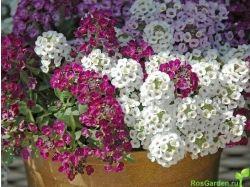 Каталог многолетних цветов с фото 7