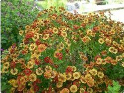 Каталог многолетних цветов с фото 8