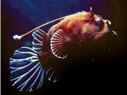 Фотографии глубоководных рыб 1