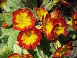 Цветы васильки фото 1