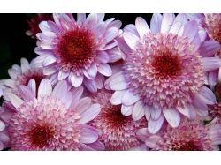 Цветы хризантемы фото 1