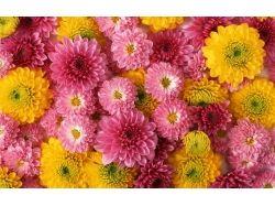 Цветы хризантемы фото 2
