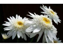 Цветы хризантемы фото 3