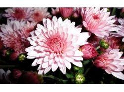 Цветы хризантемы фото 4