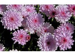 Цветы хризантемы фото 5