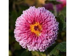 Цветы хризантемы фото 6
