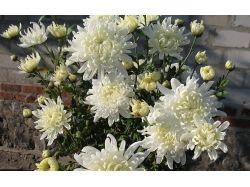 Цветы хризантемы фото 7