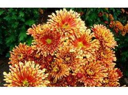 Цветы хризантемы фото 8
