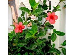 Красный комнатный цветок 8