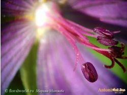 Цветы мужегоны 8