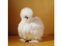 Картинка курицы 4