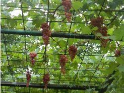 Арки для винограда фото 5