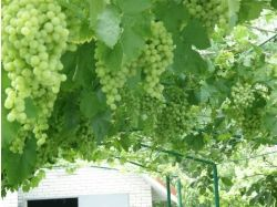 Арки для винограда фото 6