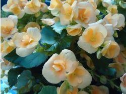 Комнатные цветы цветущие фото и названия 2