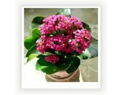 Комнатные цветы цветущие фото и названия 8