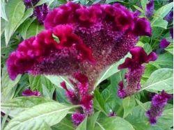 Цветы целозия фото