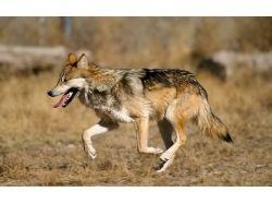 Обои для рабочего стола скачать бесплатно волки