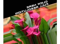Каллы цветы