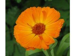Цветок 5 букв