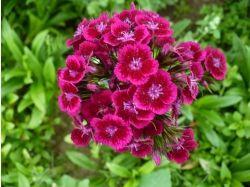 Гвоздика цветок