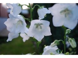 Колокольчики цветы