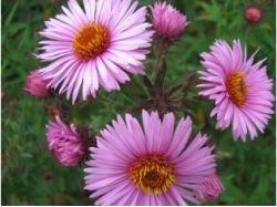 Цветы многолетние картинки и названия