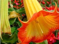 Дурман фото цветов