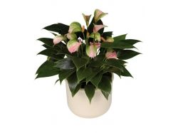 Цветы фото антуриум
