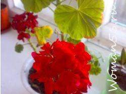 Цветы гвоздики картинки