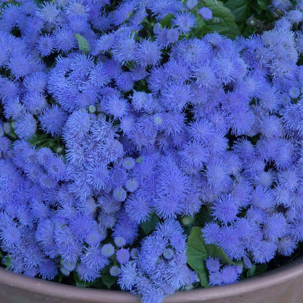 Агератум: посев семян. - gardenia.ru