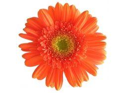 Герберы цветы фото
