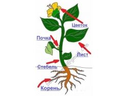 Картинка строение цветка для детей
