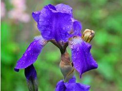 Цветок ирис фото