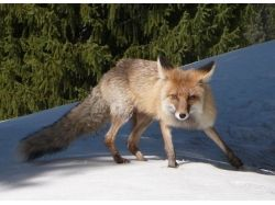 Животные евразии фото