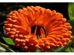 Оранжевые цветы картинки