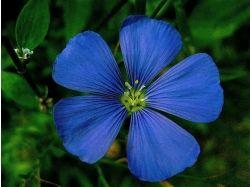 Цветок льна картинки