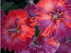 Гвоздика фото цветов