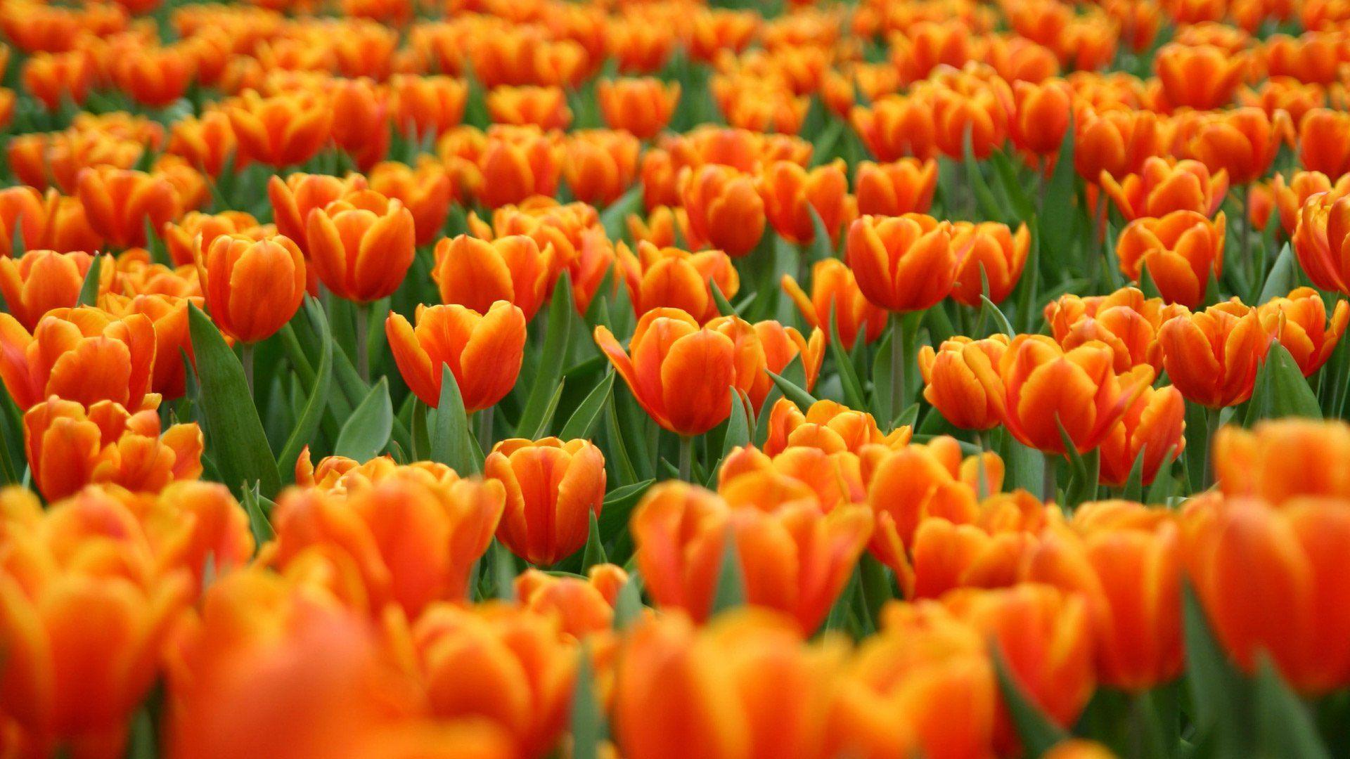 оранжево-красный цветок загрузить