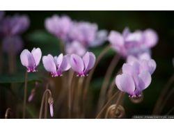 Цвет цикламен фото
