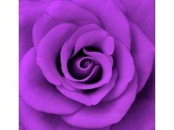 Фиолетовый цвет фото