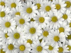 Картинки цветы ромашки