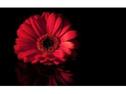 Цветок гербера фото