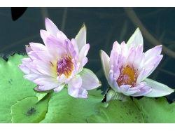 Фото цветы лилия