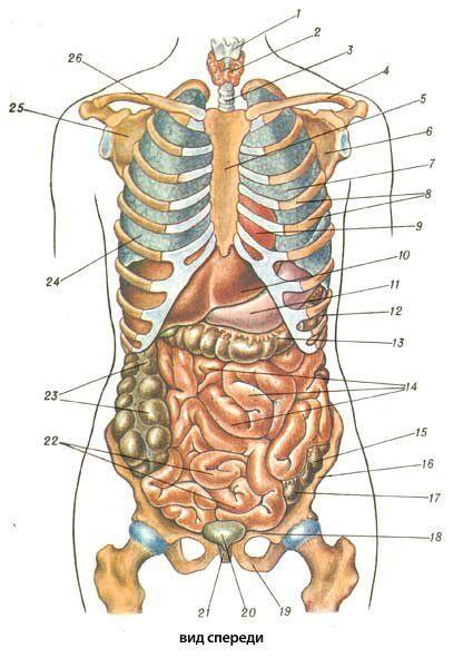 Строение внутренности человека картинка
