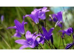 Колокольчики цветы фото
